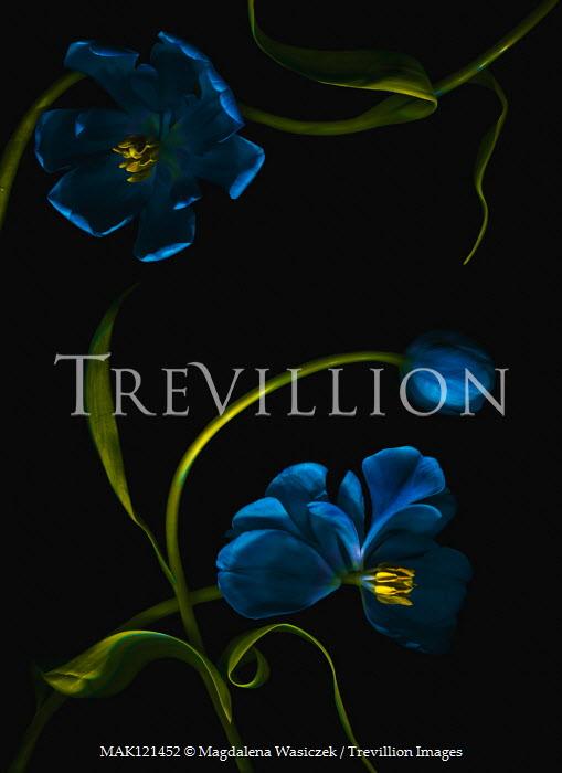 Magdalena Wasiczek blue tulips IN SHADOW Flowers