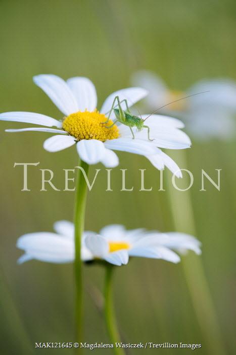 Magdalena Wasiczek Grasshopper on daisy