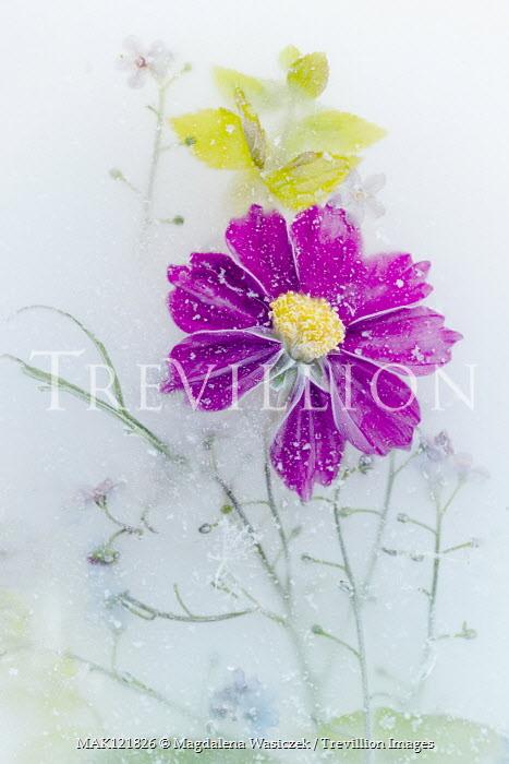 Magdalena Wasiczek PURPLE FLOWER FROZEN IN ICE Flowers/Plants