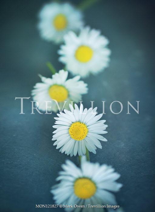 Mark Owen CLOSE OF DAISY CHAIN Flowers