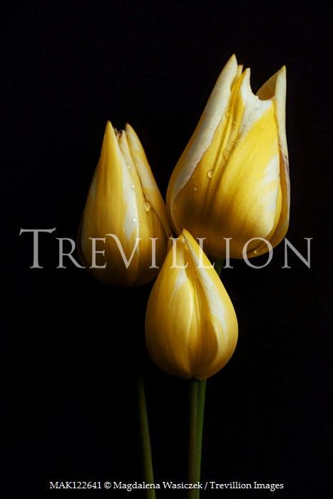 Magdalena Wasiczek THREE WET YELLOW TULIPS Flowers