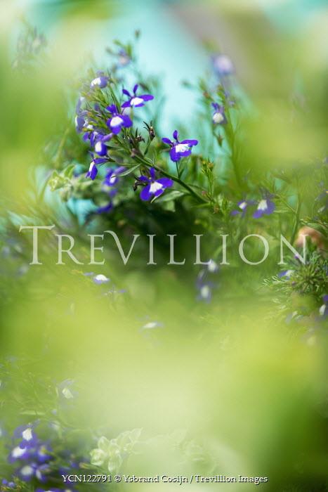 Ysbrand Cosijn Purple flowers