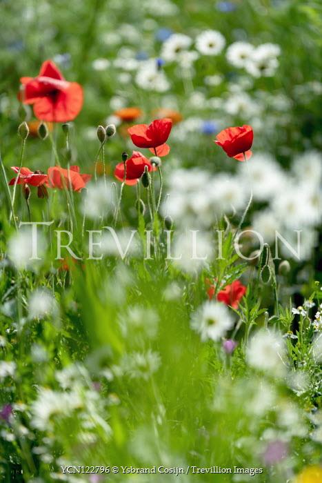 Ysbrand Cosijn Poppy in meadow