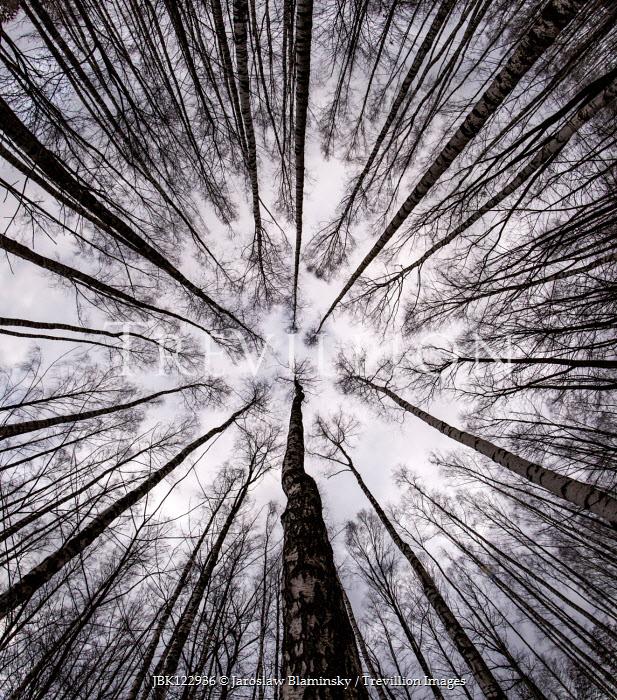 Jaroslaw Blaminsky TALL TREES IN WINTER FROM BELOW Trees/Forest