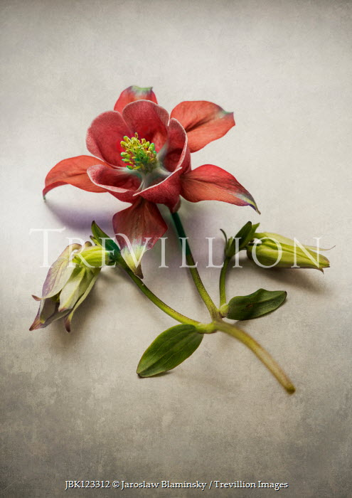 Jaroslaw Blaminsky CLOSE UP OF RED FLOWER Flowers