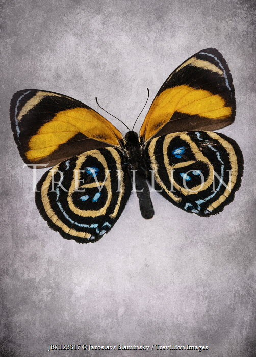 Jaroslaw Blaminsky BLUE AND YELLOW BUTTERFLY WITH MARKINGS Insects