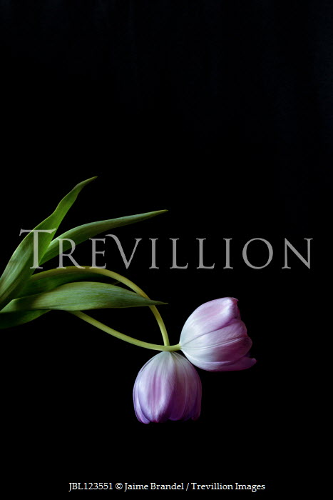 Jaime Brandel TWO INTERTWNNED PURPLE TULIPS Flowers