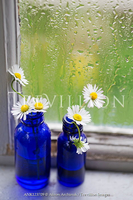 Alison Archinuk DAISIES IN BLUE BOTTLES BY WET WINDOW Flowers