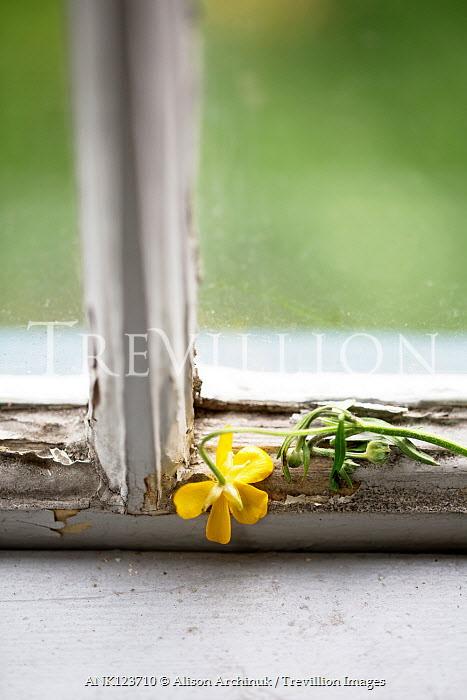 Alison Archinuk YELLOW FLOWER ON SHABBY WINDOW FRAME Flowers