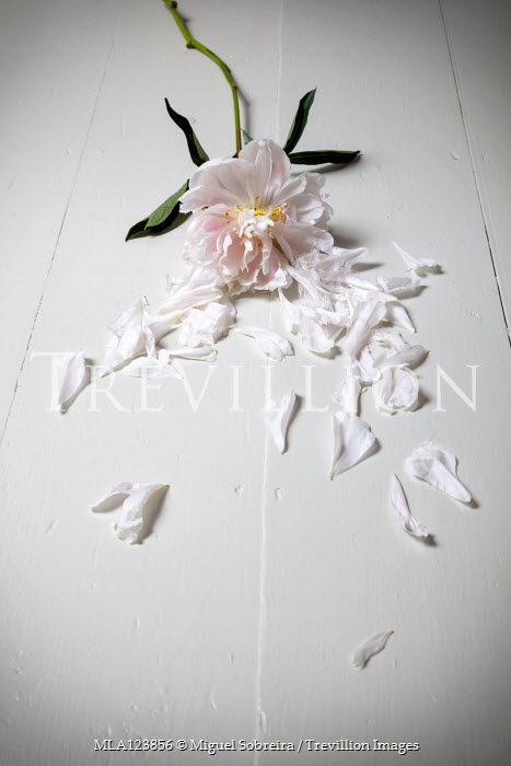 Miguel Sobreira FLOWER ON WHITE FLOOR WITH SCATTERED PETALS Flowers