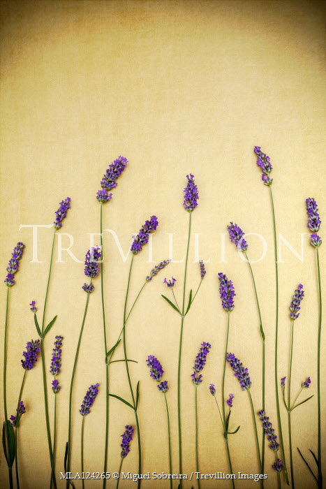 Miguel Sobreira LAVENDER FLOWERS AND STEMS ON GOLD BACKGROUND Flowers