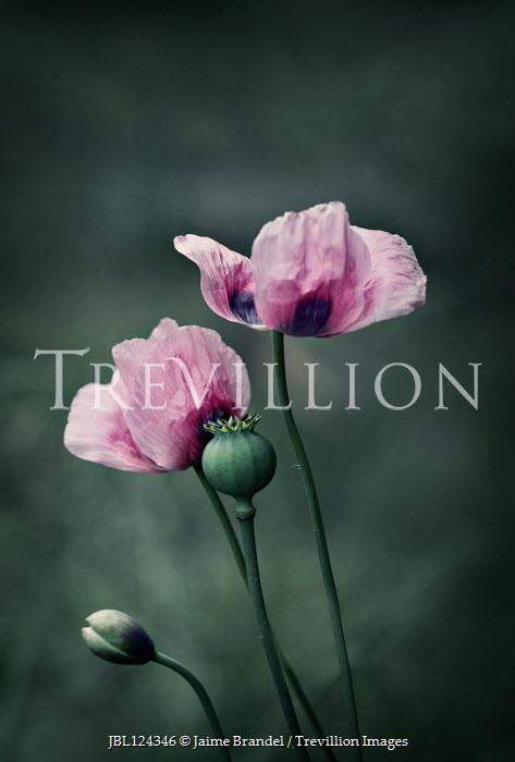 Jaime Brandel PINK POPPY FLOWERS AND SEED POD Flowers/Plants
