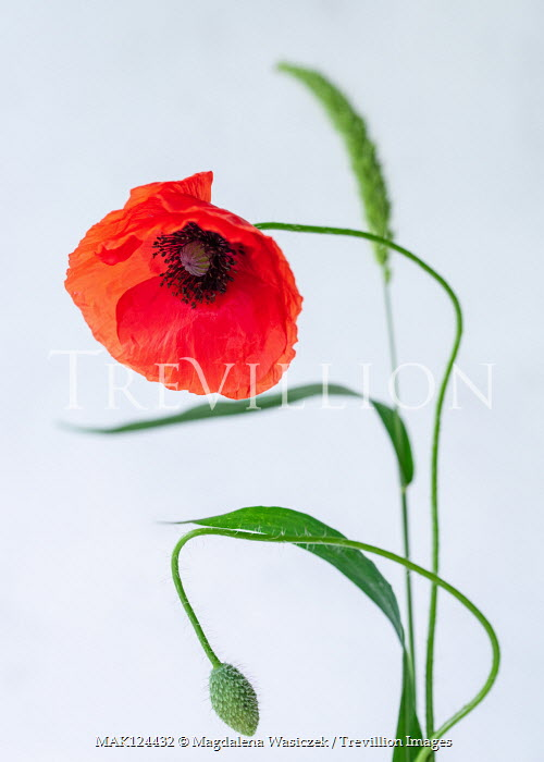 Magdalena Wasiczek CLOSE UP OF RED POPPY WITH BUD Flowers