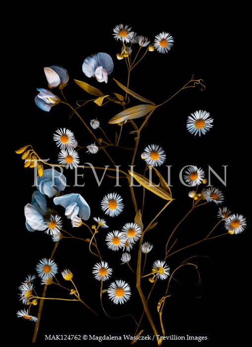 Magdalena Wasiczek Daisies on black background