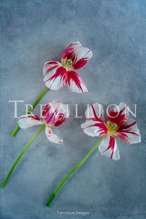 Magdalena Wasiczek THREE STRIPED RED TULIPS Flowers