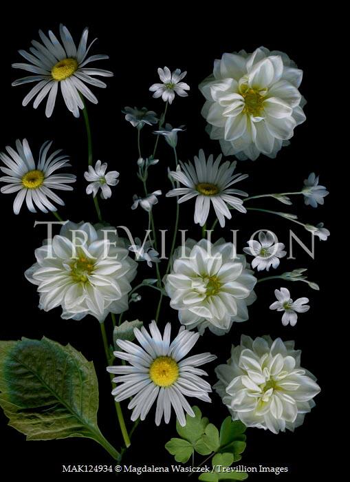 Magdalena Wasiczek WHITE DAHLIAS AND DAISIES Flowers