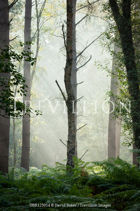 David Baker SUNLIT FOREST WITH FERNS Trees/Forest