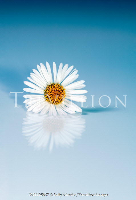 Sally Mundy REFLECTION OF DAISY ON BLUE BACKGROUND Flowers