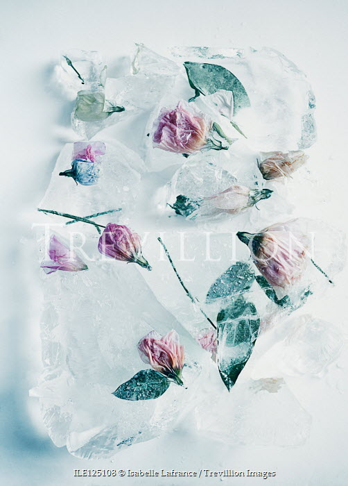 Isabelle Lafrance PINK FLOWERS IN BLOCKS OF ICE Flowers