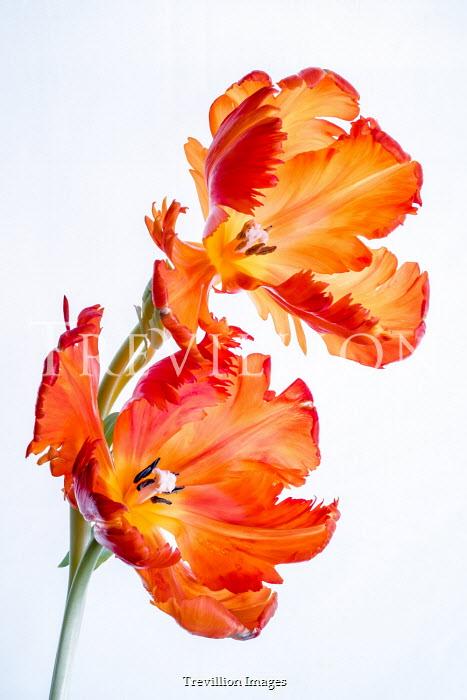 Magdalena Wasiczek TWO ORANGE TULIPS Flowers