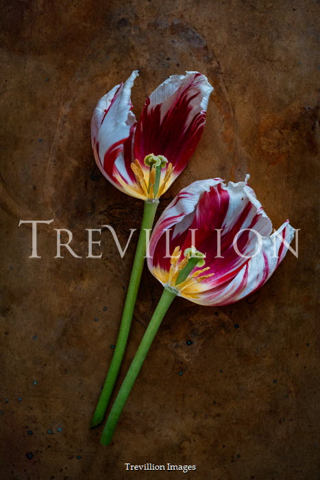 Magdalena Wasiczek HALVES OF TWO TULIPS Flowers