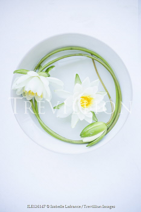 Isabelle Lafrance WHITE LOTUS FLOWERS IN BOWL OF WATER Flowers