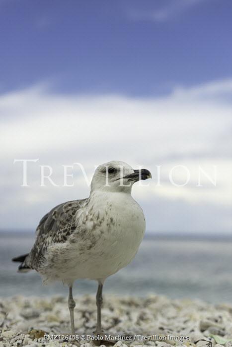 Paolo Martinez SEAGULL ON PEBBLE BEACH WITH BLUE SKY Birds
