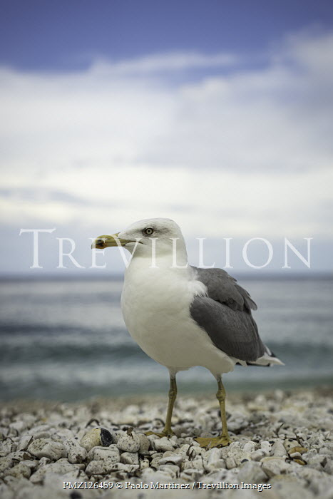 Paolo Martinez SEAGULL ON PEBBLE BEACH WITH BLUE SKY Birds