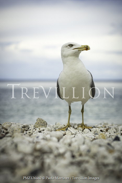 Paolo Martinez SEAGULL BY SEA ON PEBBLE BEACH Birds