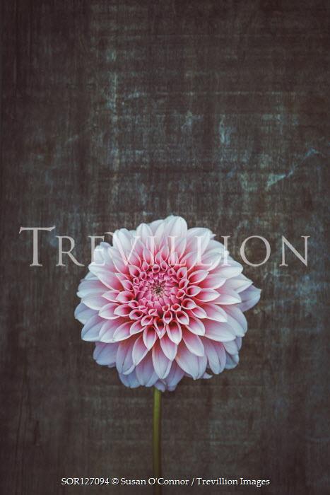 Susan O'Connor Pink chrysanthemum on wood