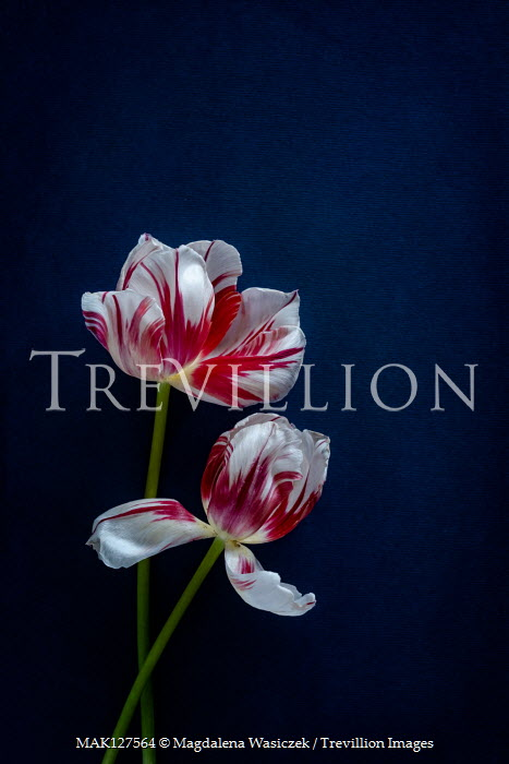 Magdalena Wasiczek Red and white tulips