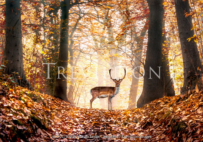 Adrian Leslie Campfield Stag standing in autumn forest