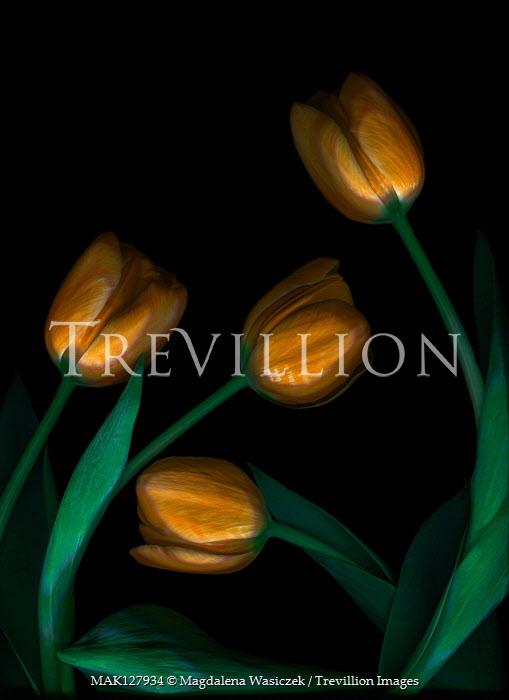Magdalena Wasiczek FOUR YELLOW TULIPS IN SHADOW Flowers