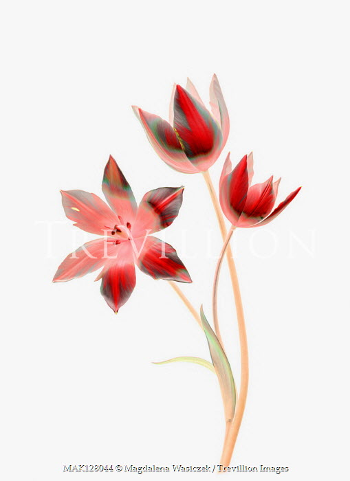 Magdalena Wasiczek Three red tulips Flowers