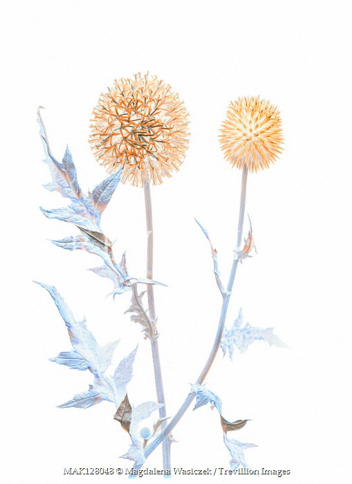 Magdalena Wasiczek TWO THISTLES AND LEAVES Flowers