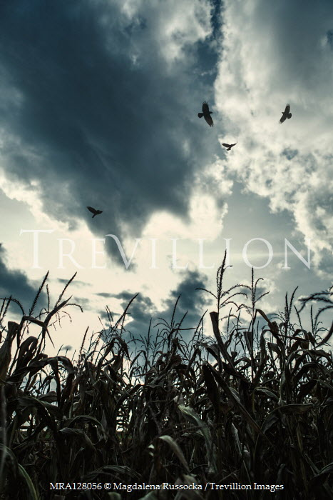 Magdalena Russocka close up of corn field and birds