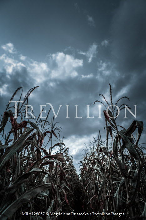 Magdalena Russocka close up of corn field