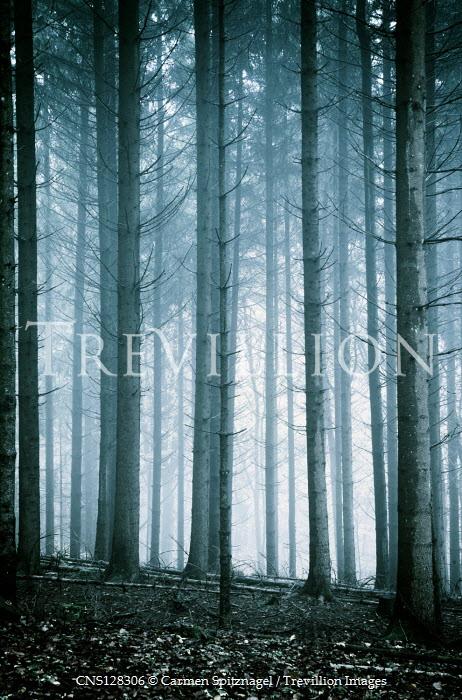 Carmen Spitznagel Pine trees in forest