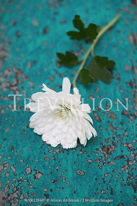 Alison Archinuk White chrysanthemum flower on worn wooden table