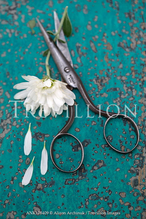 Alison Archinuk White chrysanthemum flower with antique scissors