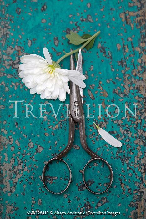 Alison Archinuk White chrysanthemum flower with antique scissors