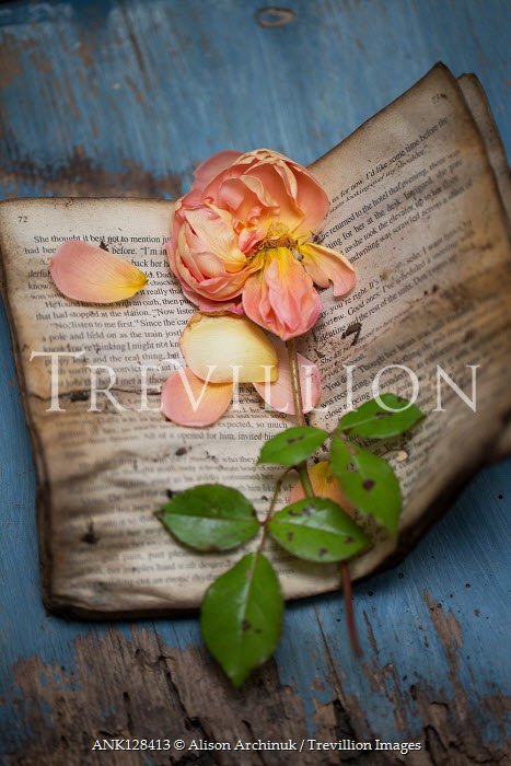 Alison Archinuk Wilted rose and petals on dirty pages
