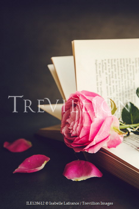 Isabelle Lafrance PINK ROSE WITH FALLEN PETALS IN BOOK Flowers