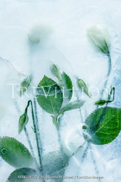Magdalena Wasiczek WHITE FLOWERS FROZEN IN ICE Flowers/Plants