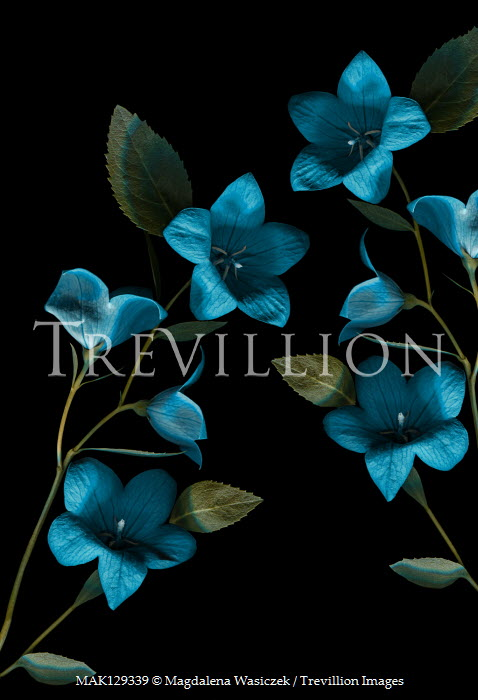 Magdalena Wasiczek Blue flowers on black background