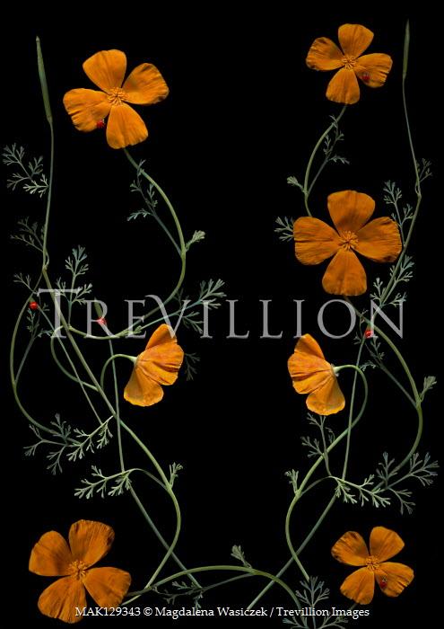 Magdalena Wasiczek Orange flowers on black background