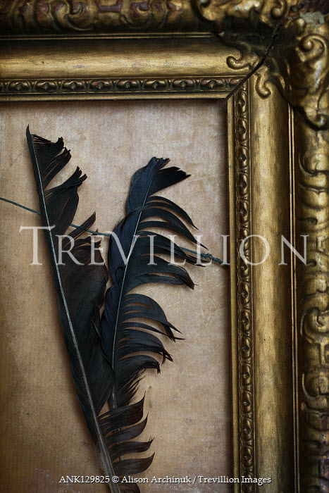 Alison Archinuk BLACK FEATHERS IN GOLDEN FRAME Miscellaneous Objects