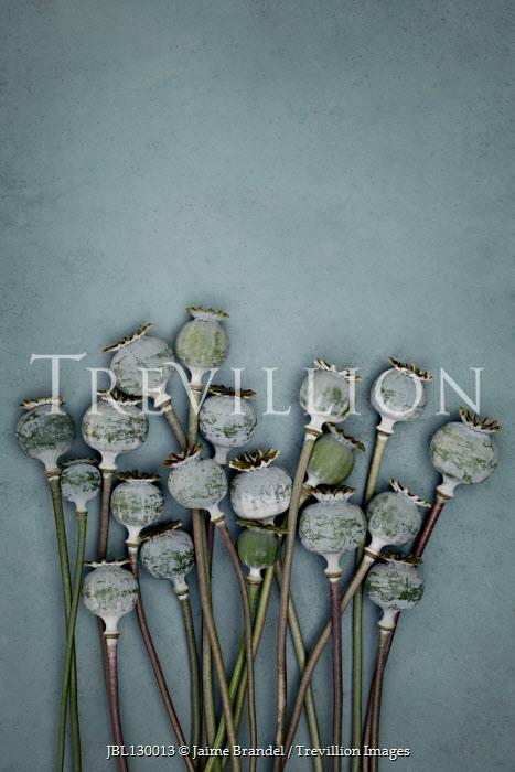 Jaime Brandel BUNCH OF POPPY HEADS Flowers