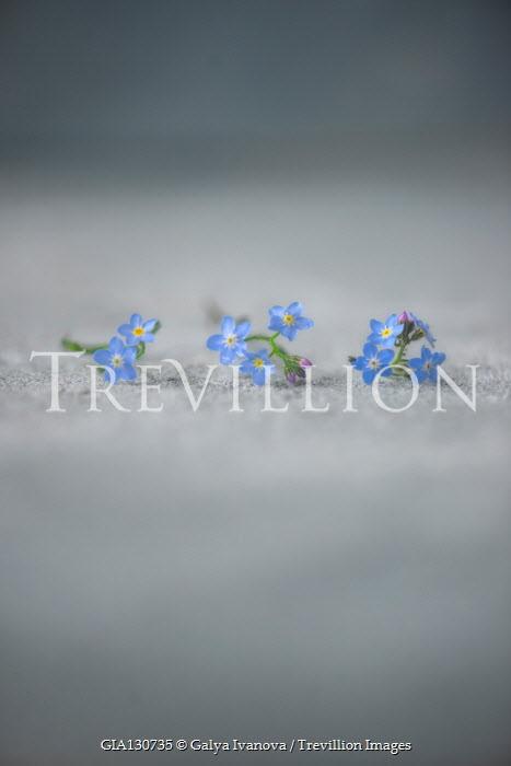 Galya Ivanova ROW OF FORGET-ME-NOT FLOWERS Flowers