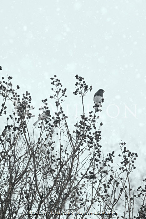 Lisa Bonowicz BIRDS SITTING IN BUSH IN SNOWY COUNTRYSIDE Birds